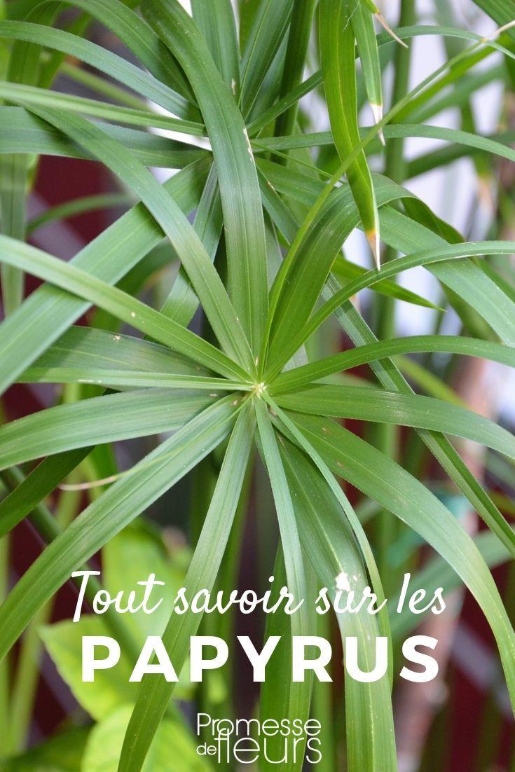 Papyrus, Cyperus : planter, entretenir