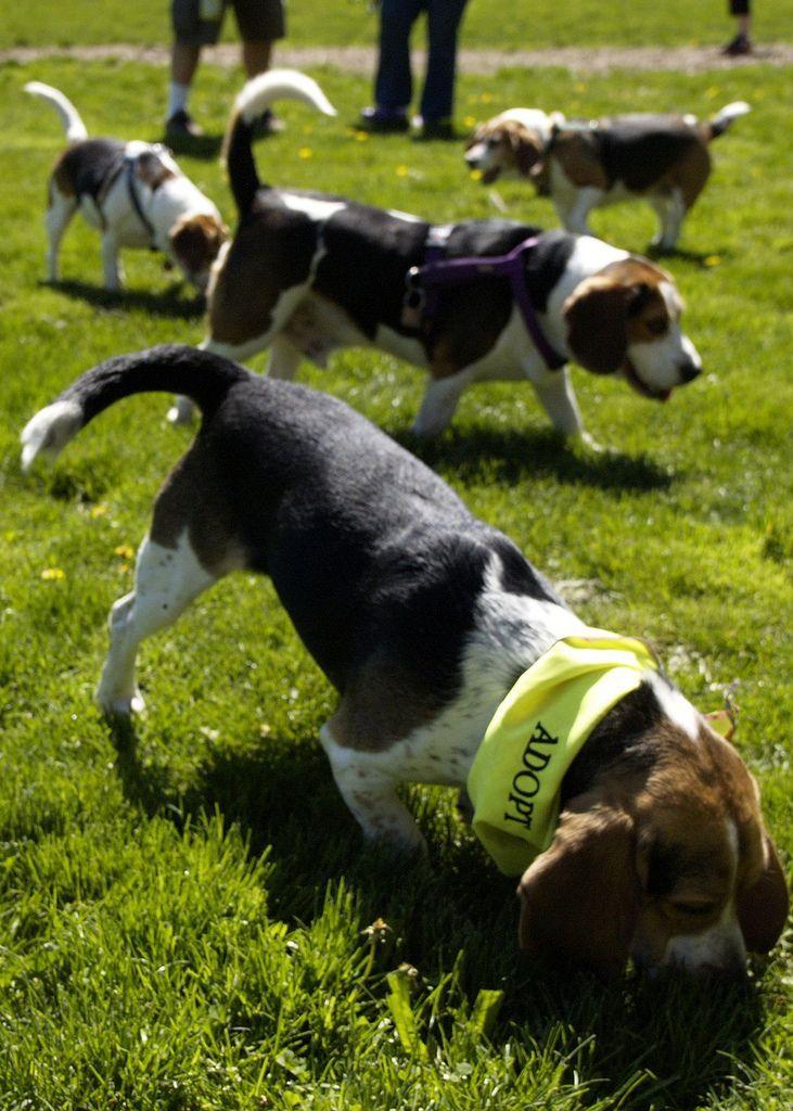 How To Train Beagles Via Wikihow Com Beagle Beagle Puppy