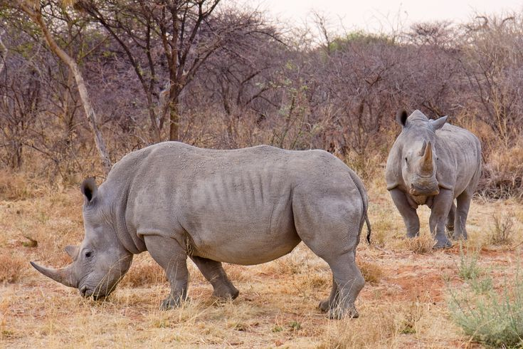 White Rhinos close to Waterberg National Park, Namibia. This rhino is the largest species of rhinoceros that exists. It has a wide mouth used for grazing and is the most social of all rhino species. The white rhinoceros consists of two subspecies: the southern, with an estimated 17,460 wild-living animals at the end of 2007 (IUCN 2008), and the much rarer northern.  The word rhinoceros is a combination of 2 greek words: Rhino (nose) + Ceros (horn).