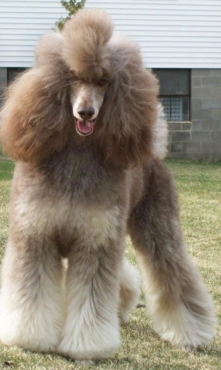 Phantom Standard Poodle                                                       …                                                                                                                                                                                 More