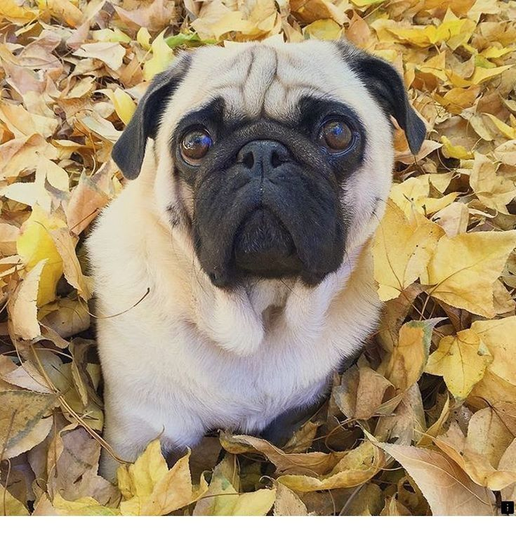 Follow The Link For More Pug Rescue Near Me Click The Link To Get