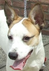 Lucy 110969 is an adoptable Jack Russell Terrier Dog in Newark, NJ. Little Lucy is only 7-8 months old and finds herself homeless. She's a cute little Heinz 59 mixture of different breeds that will m...