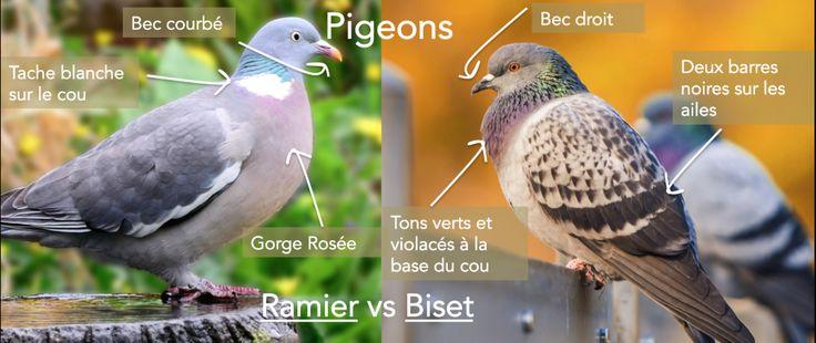 Pigeon Ramier ou Pigeon Biset ?