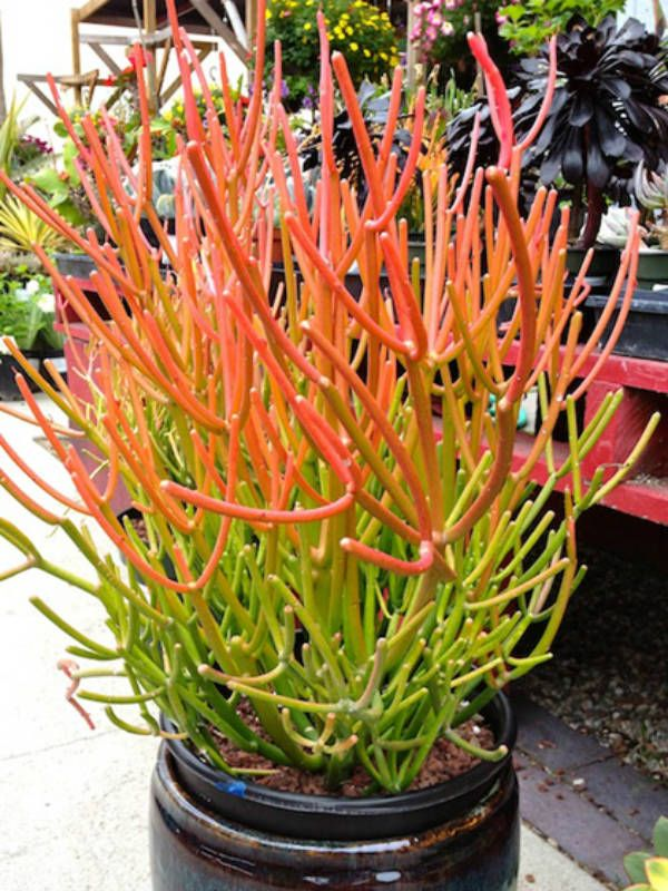Euphorbia tirucalli 'Rosea' (Fire Sticks, Sticks on Fire, Red Pencil Tree)