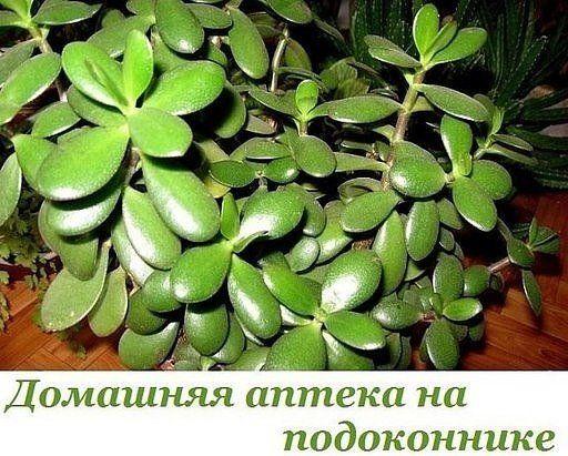(8) ОдноклассникиЛЕЧЕБНЫЕ СВОЙСТВА ДЕНЕЖНОГО ДЕРЕВА Наверное, многие знают, что такое популярное комнатное растение, как денежное дерево (толстянка), привлекает успех, богатство и благополучие. Но оно также имеет лечебные свойства, о которых знают немногие. Это растение ничем не уступает алоэ. Если у тебя еще нет денежного дерева на подоконнике, тогда советуем тебе им обзавестись. Оно совершенно непривередливое и за ним легко ухаживать. Замечено многими, что толстянка является показателем…