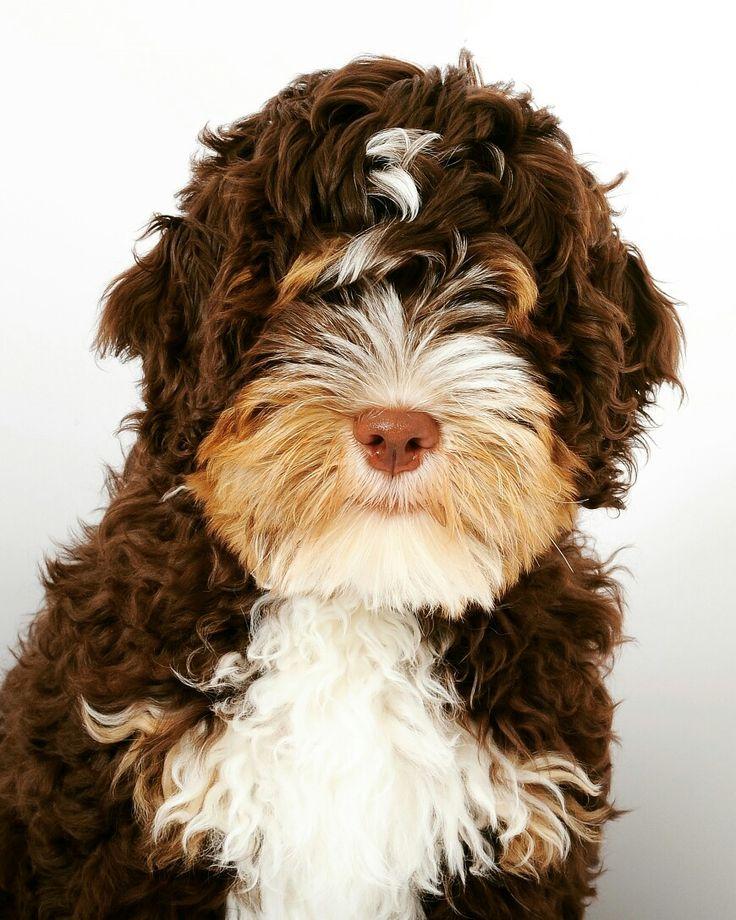 44 Best Images About Bernedoodle On Pinterest Poodles