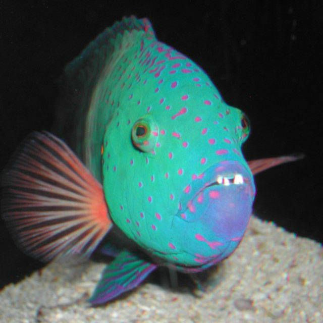 17 best images about exotic freshwater fish on pinterest for Exotic tropical fish