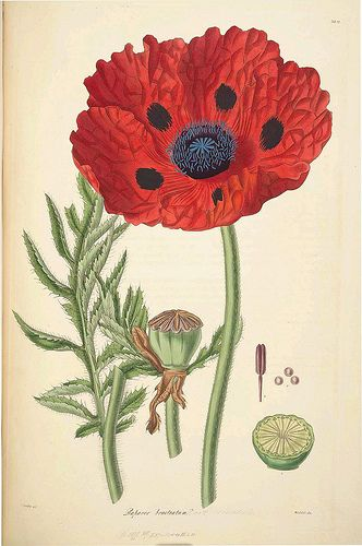 Poppy ~ from 'Collectanea Botanica, or, Figures and Botanical Illustrations of Rare and Curious Exotic Plants Chiefly Cultivated in the Gardens of Great Britain' (a series of monographs by John Lindley issued between 1821 and 1826) is online at the Biodiversity Library.  The images were extracted from the pdf. Larger versions are viewable at the source site above.