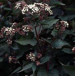 alle planten : Eupatorium rugosum 'Chocolate'
