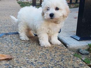 Maltipoo Puppy For Sale in ARLINGTON, VA