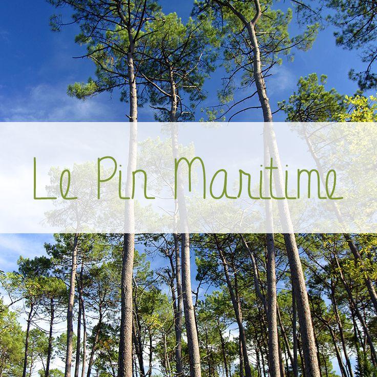 Le Pin Maritime est l'essence de prédilection de Gascogne Bois. L'entreprise est située au coeur des Landes de Gascogne. Gascogne Bois propose des produits d'aménagement extérieur bois (via sa marque Hylor) et des produits d'aménagement intérieur bois (via sa marque Imberty). Bonne promenade en forêt... #forêt #landes #pin