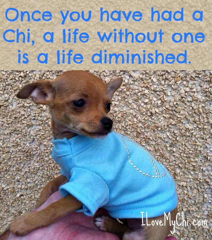 crying chihuahua meme 20 chihuahua memes that will make you cry animals 9754