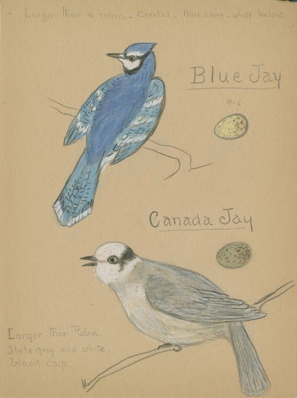 Blue Jay and Canada Jay | saskhistoryonline.ca