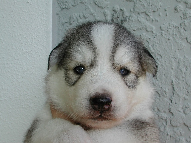 """Tank"" the mini Husky awwwwwww this one holly!!!!"