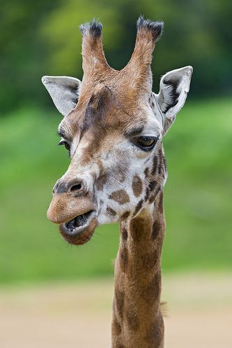 Funny giraffe portriat
