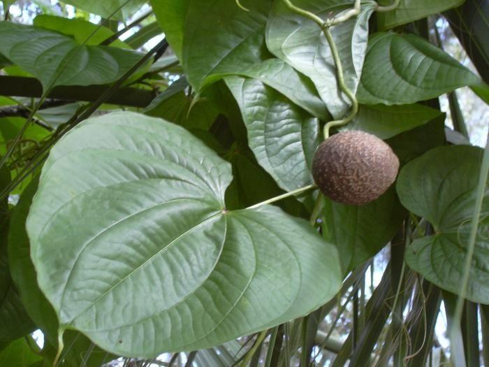 Air Potato Also Known As Cinnamon Vine Is A Tropical