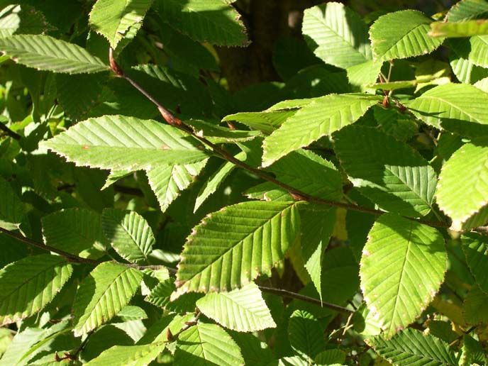 Carpinus betulus fastigiata - Upright Hornbeam Tree European Hornbeam Blerick Trees Buy Online Trees Advanced Trees, Screening Plants, Fruit Trees