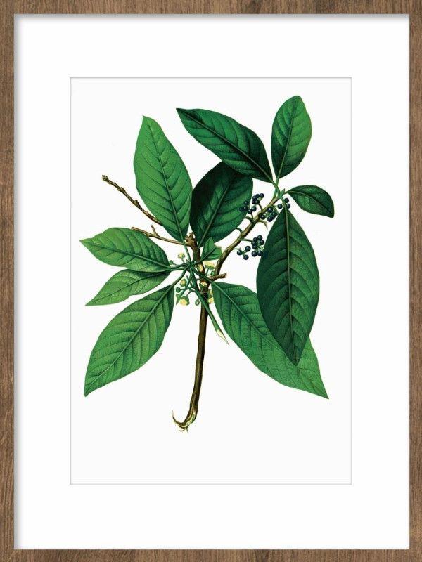 Tavla med gröna blad. Botanisk poster med växt. Tavlor och affischer till botanisk inredning. Planscher och prints med gröna inslag.