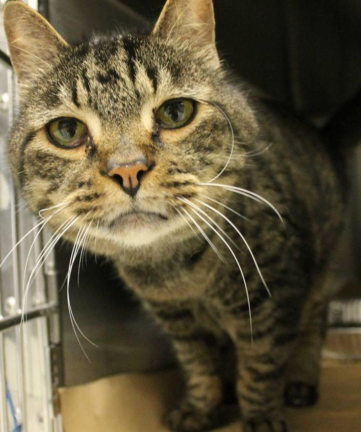 Intake: 4/8 Available: 4/14 NAME: Emmett ANIMAL ID: 25345764 BREED: DSH SEX: Neutered Male EST. AGE: 7 yrs Est Weight: 11.8 lbs Health: Temperament: Friendly ADDITIONAL INFO: RESCUE PULL FEE: $39