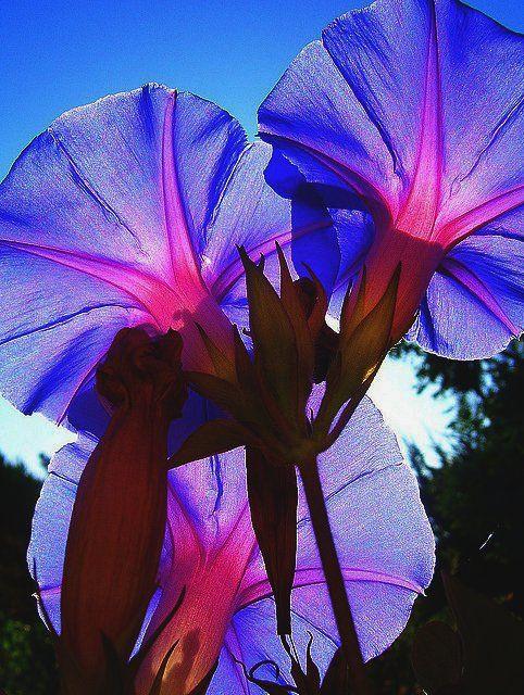 Backlit morning glories...wonderful shot!: Morning Glories, Backlit Morning, Blue Flowers, Nature, Colors, Beautiful Morning, Beautiful Flowers, Mornings