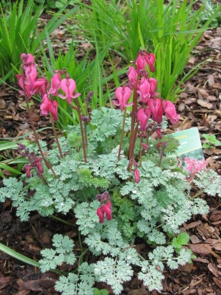 dicentra king of hearts - Google Search