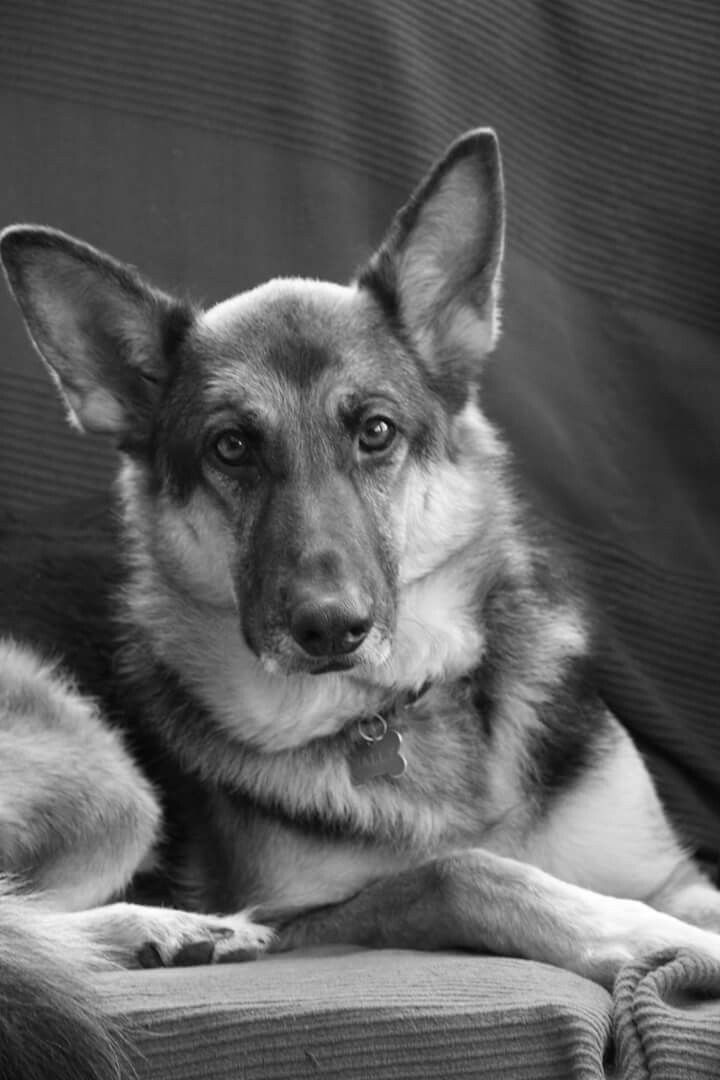 Grrman shepherd dog