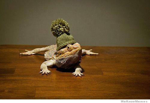 dragons barbus a chapeau 2   Dragons Barbus à chapeau   Pogona Vitticeps pogona photo image dragon chapeau barbe