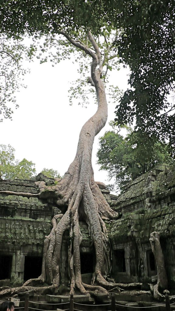 This is a Banyan Tree whose roots have both damaged and helped preserve the ancient temple. In some of the temples, the roots of these trees are the only thing holding the buildings up. It is located in Angkor Wat Temple, Cambodia.