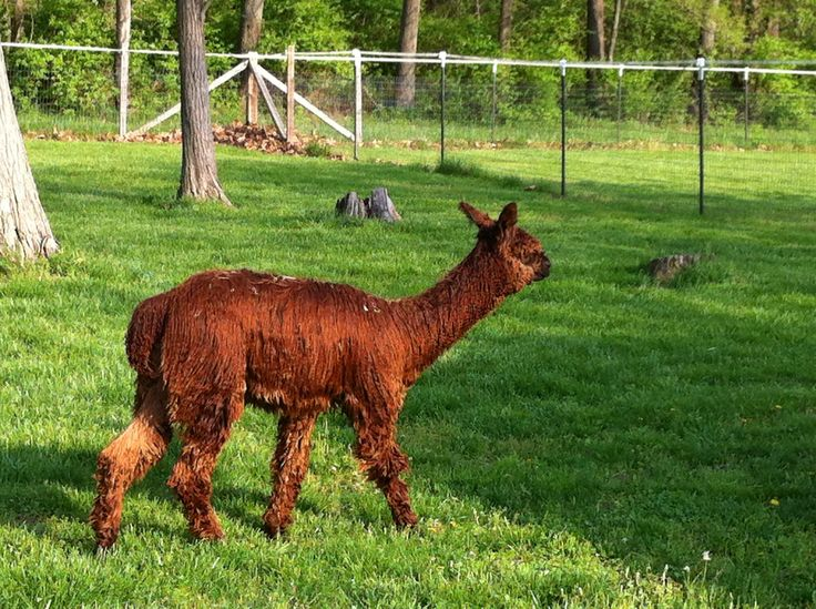 Kuma-Sutra (aka Kai) is a fun little boy.  He is now about 2 years old and soon to be ready to begin his breeding career.  Kai is a gorgeous color as you can see in the photo.  This photo has not been touched up at all.  Kai is really that lustrous.  His stats are not too bad for a darker fibered alpaca, but his uniformity and luster make him worth the effort!  Kai's fiber makes great novelty yarn.