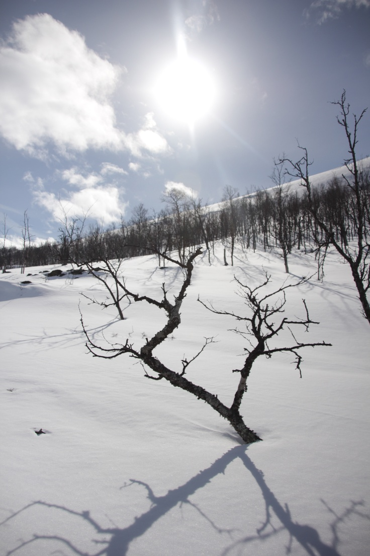 Norwegian Birch in winter
