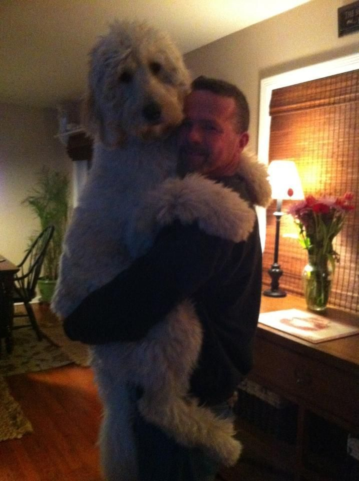 Golden doodles...nothing better...love them!! They are just so love able! Just like my Daisy girl would have done.