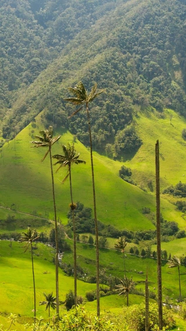 Palm Trees Cocora Valley Colombia