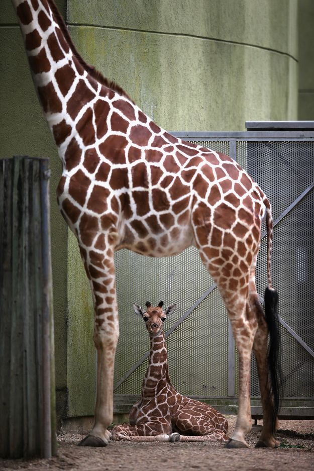 1. Don't stray too far from your mom. | Let's Celebrate The Four-Day Weekend With Baby Giraffes
