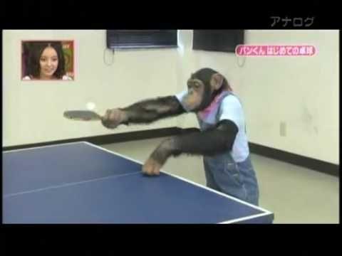 incredibile scimpanzè colpisce tutto il web!