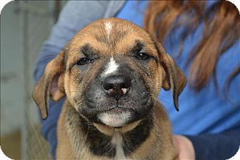 Paris, KY - Boxer/Mastiff Mix. Meet Astaire, a puppy for adoption. http://www.adoptapet.com/pet/17845671-paris-kentucky-boxer-mix