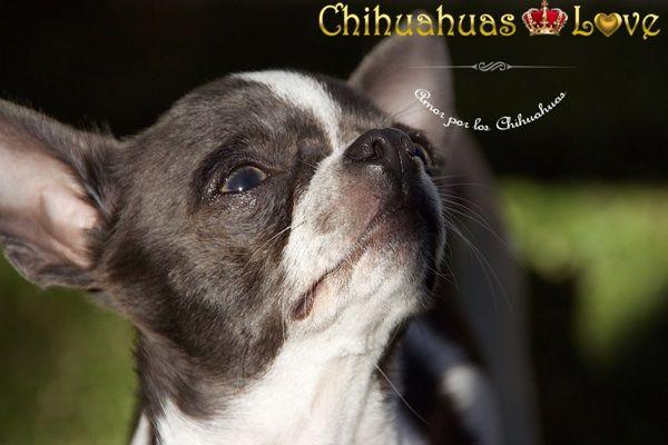 Chihuahuas Love - No Sentirse Mal al Comprar Un Chihuahua. Trato con Criador de Chihuahuas.