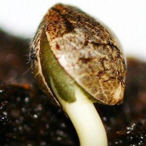 potismyreligion:  How to germinate seeds