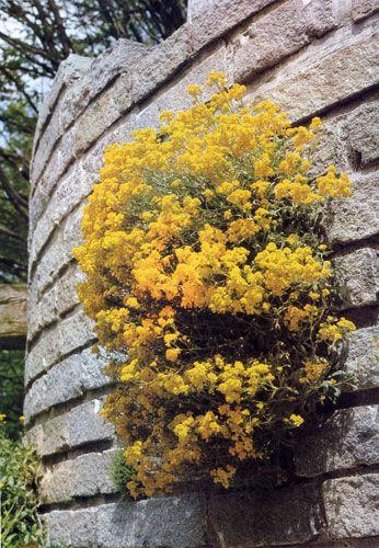 Снимок свидетельствует о том, насколько неприхотлив бурачок (Alyssum saxatile). В естественных условиях он растет на скалах, довольствуясь поразительно малым количеством земли. Это растение незаменимо для альпинариев и сухих стенок, находящихся на солнечном месте и даже на солнцепеке. Бурачок образует свисающие кустики, а его желтые цветы выглядят очень оптимистично