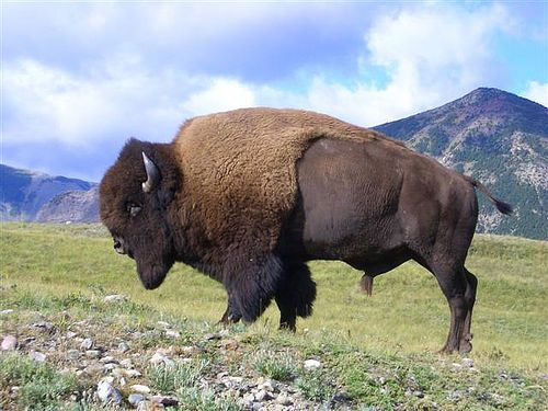 A maybe workable fuck-ton of bison anatomy references. Someone I knew a while back once commented on bison looking clumsy. Well, I disagree. Think of 'em like dogs. Just as flexible and playful and dorky. They move similarly to bovines/bulls. And,...