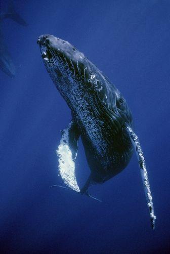 Humpback Whale (Megaptera novaeangliae) friendly singer, Maui, Hawaii byFlip Nicklin