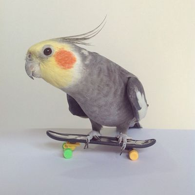 Jack  This skateboarding cockatiel is cooler than we'll ever be.
