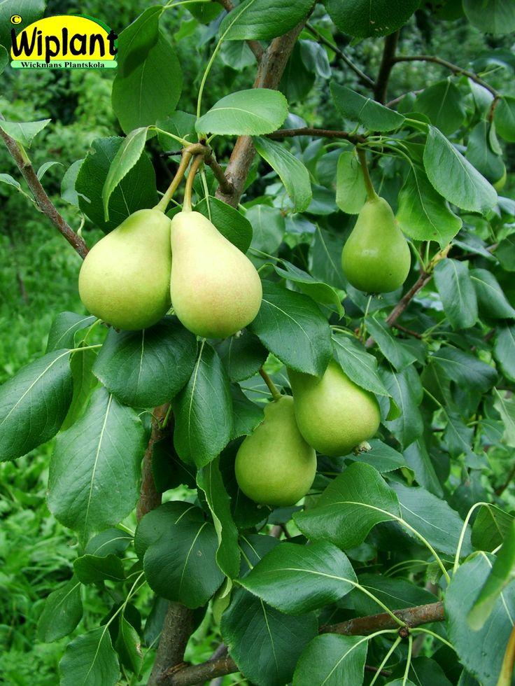 Pyrus communis 'Pepi', Estnisk sort. Frukten medelstor och gul. Saftig och god i smaken. Mognar i september. Bär tidigt frukt och är självpollinerande.  Zon II