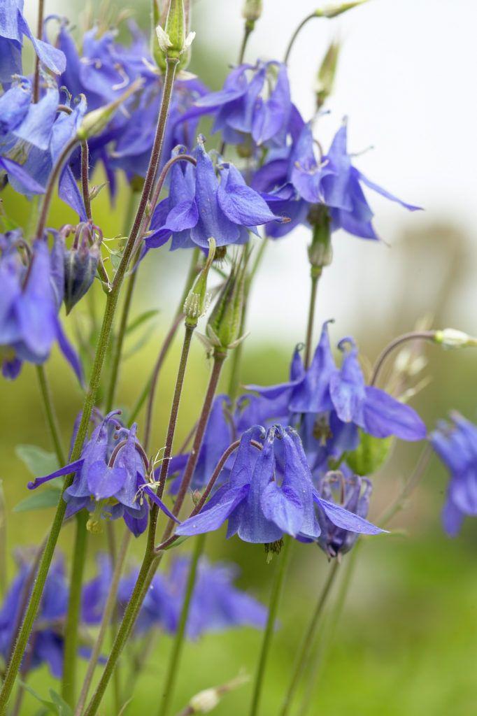 European columbine • Aquilegia vulgaris • Granny's nightcap • Common columbine, American bluebells, Granny's bonnet • Plants & Flowers • 99Roots.com