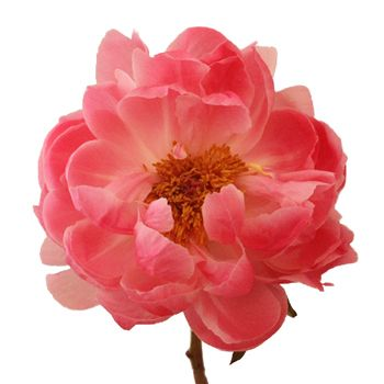 Bring the heat with this charming peony! Coral Peonies for June features exquisite coral ruffled petals that can feature a natural range from salmon to peachy pink tones. The large bloom creates a focal point in any bridal bouquet or table arrangement. Simply arrange alone for a simple and whimsical look or enhance the blooms with other FiftyFlowers stems like ranunculus, tulips, and sprigs of greenery for a bold and enchanting look.
