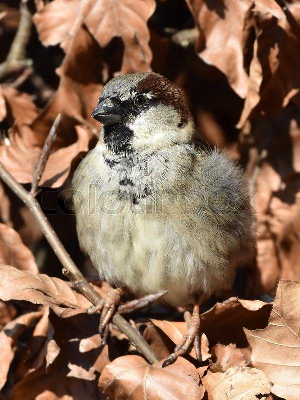 House sparrow (Passer domesticus) | Stock Billede | Colourbox on Colourbox