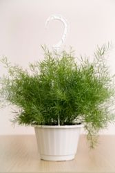 Asparagus Fern  With soft, feathery foliage trailing 2 ft (60 cm) or more, asparagus fern looks elegant among other house plants.  It's also a popular seasonal container plant in temperate climates, mixed with brightly colored flowers. Want to move your fern outdoors for the summer? That's fine. Just keep it shaded from hot sun.