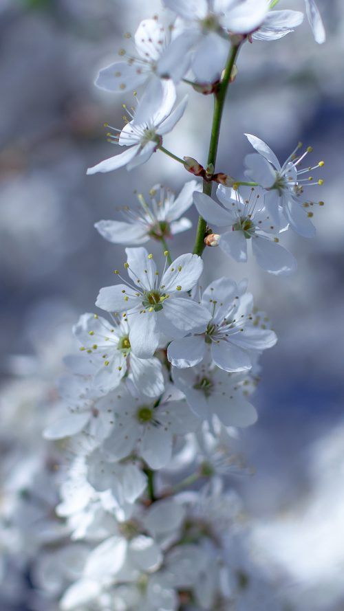 Flower Wallpaper For Mobile Phone with White Cherry Blossoms