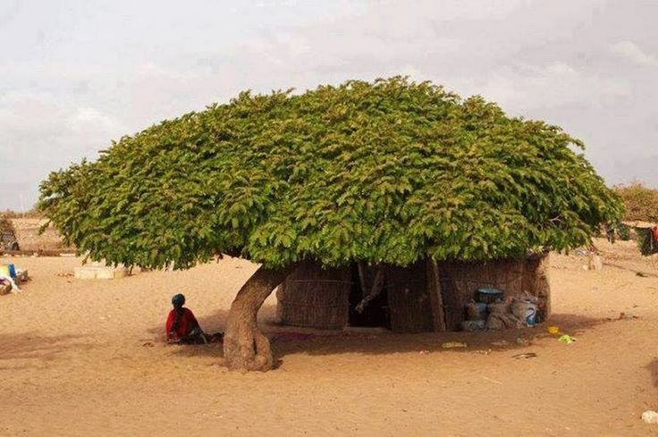 Africa...someone is very lucky to get this tree to live under!