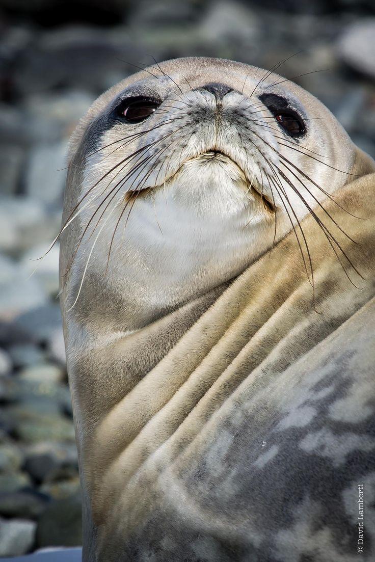 smiling seal by David Lamberti