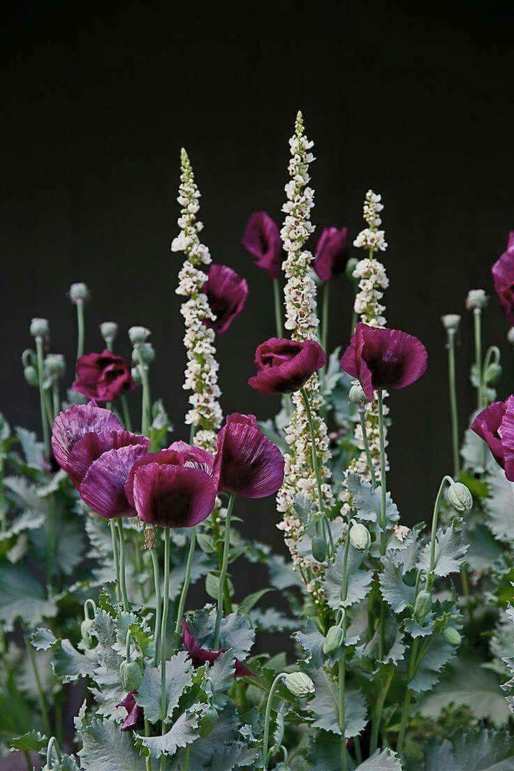Here's a dark Papaver somniferum annual with a pale Verbascum; obviously in full sun. The tall spikes set off the big poppy heads and the dark and light tones complement.